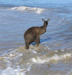 kangaroos swimming