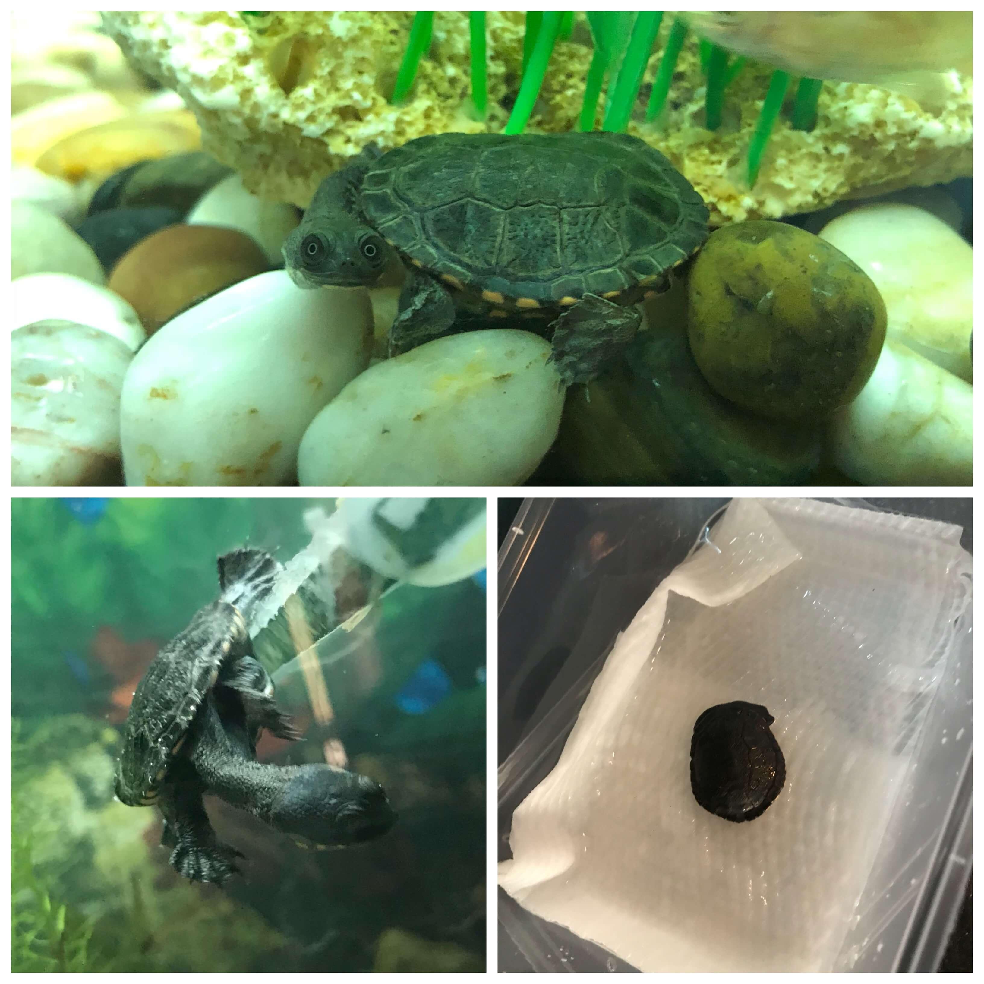 Pretzel the long necked turtle